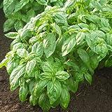 Basil Caesar - Herb Seeds Package - 5 lb. of Seeds