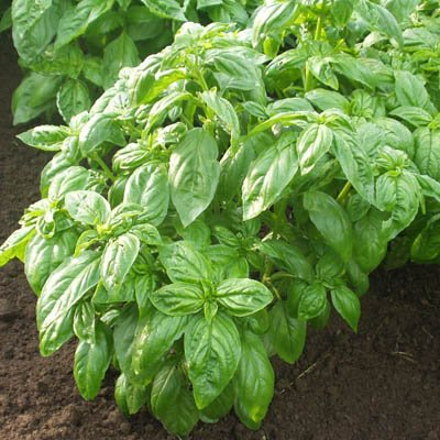 Basil Caesar - Herb Seeds Package - 5 lb. of Seeds by GardenTrends