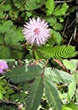 TROPICA - Vera mimosa (Mimosa pudica) - 70 Semi- Magic tropical