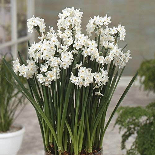 20 Paperwhites Bulbs, Nir 17+cm Size Extra Large Paperwhites for Forcing - Indoor Blooming & Fragrant!