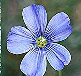 BLUE FLAX Flower Seeds - Linum lewisii - LEWIS FLAX Seed - Attracts BIRDS & BUTTERFLY ~ PERENNIAL Flower (019000 Seeds - 1 oz)