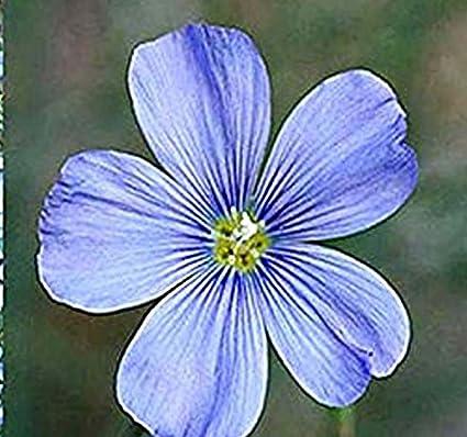 Description of the Flax Flower