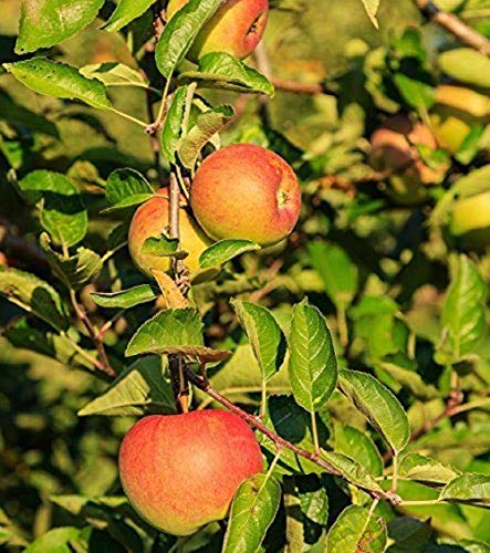 owzoneplant 1 Plant Sweet 16 Apple Tree Healthy Established One Gallon Pot