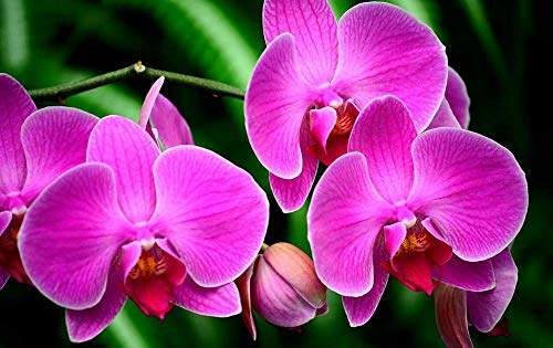 KaoHun Orchid Flower Branch Exotic - Flowers Picture Art Canvas Print Poster,Home Wall Decor 42x28 inches