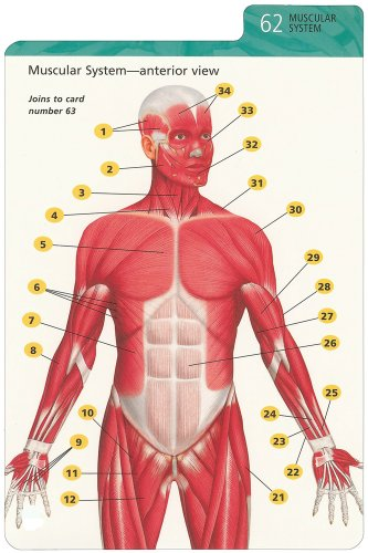 Barron\'s Anatomy Flash Cards: Kurt Albertine Ph.D.: 9780764161599 ...