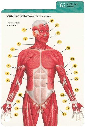 Barron\'s Anatomy Flash Cards: Kurt Albertine Ph.D.: 9780764161599 ...