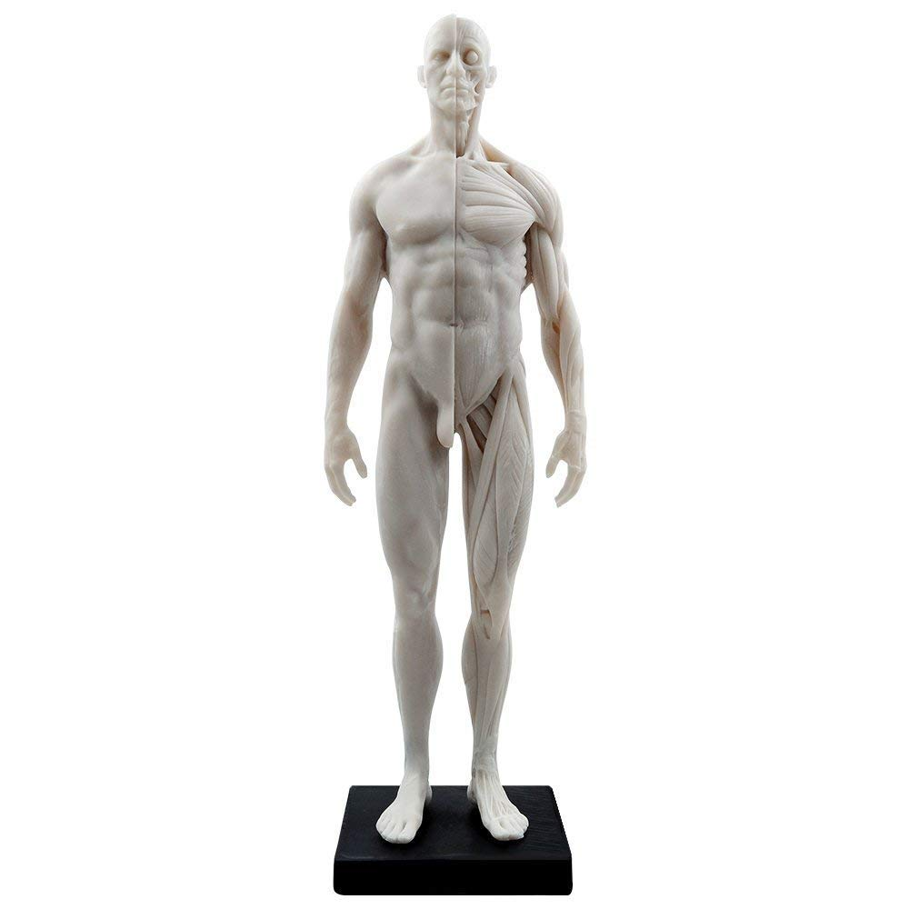 Human Body Musculoskeletal Anatomical Model for Study and Teaching (30CM2)