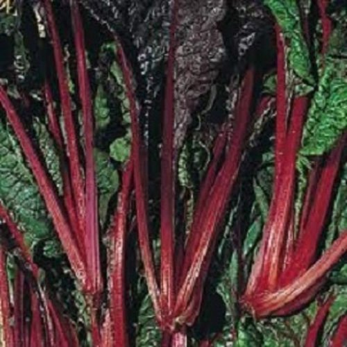 500 Swiss Chard Seeds Ruby Red 55 days