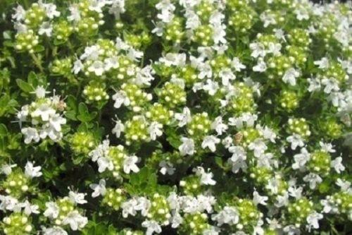 Floral Oval Trim Shaped - 100 Seed,Thymus mastichina,Spanish Thyme AKA Mastic Thyme,White Thyme,Rare Herb.