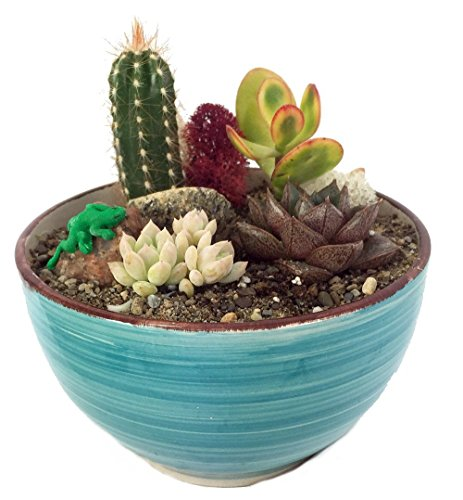Sonora Gecko Cactus & Succulent Garden - Turquoise Glazed Pot - Easy to Grow!