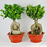 bonsai tree for office. Exotic Bonsai Tree Banyan Seed Office Desk Ficus Ginseng Seed,Perennial Microcarpa The For R