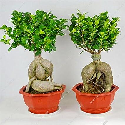 Amazon Com Exotic Bonsai Tree Banyan Tree Seed Office Desk Ficus
