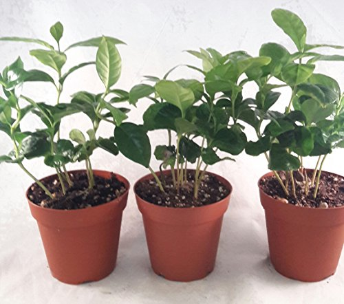 Coffee Plant Pot 4'' pot (Pack of 3) unique from jmbamboo by JM BAMBOO (Image #1)'
