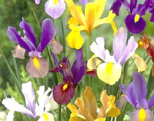 5 Dutch Iris bulbs Bi-Color Mix-Bronze,Oriental,Mystic &More****FALL PLANTING