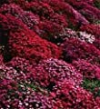50+ Aubrieta Rock Cress Red Flower Seeds / Perennial
