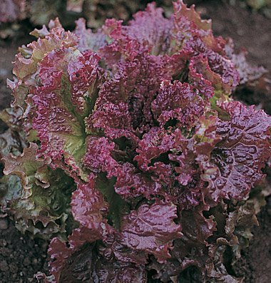 David's Garden Seeds Lettuce New Red Fire D430PA (Red) 500 Organic Seeds