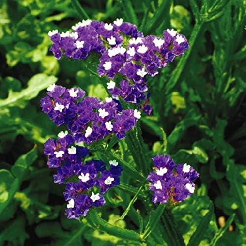 国華園 種 花たね スターチス ミッドナイトブルー 1袋(100mg)/メール便配送