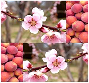 5 x Nemaguard Peach, Prunus persica nemaguard, Tree Seeds - VIGOROUS GROWER AND EXTREMELY DISEASE RESISTANT - Excellent Rootstocks - Hardy Zones 4-8 - By MySeeds.Co