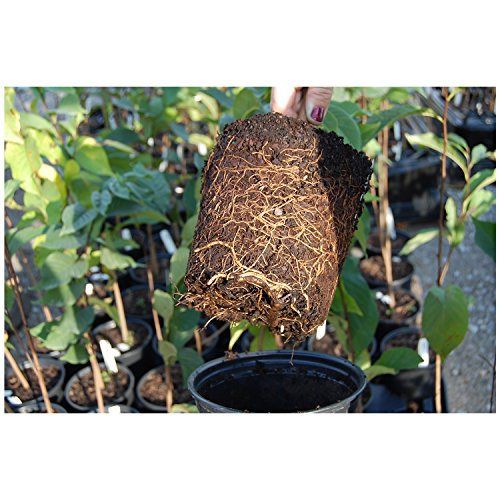 Paw-Paw Tree Asimina triloba Edible Fruit 17'' - 24'' Nice Heavy Roots - One Trade Gallon Pot - 1 plant by Growers Solution by Grower's Solution (Image #2)