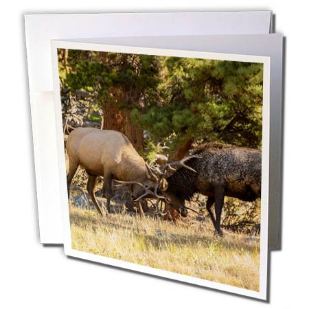 3dRose Danita Delimont - Elk - USA, Colorado, Rocky Mountain National Park. Male elks Sparring. - 1 Greeting Card with Envelope (gc_278742_5)