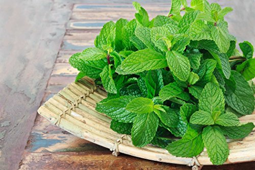 Seeds Mint Peppermint Lydia Herbs Perennial Plant for Planting Non GMO 100 Seeds