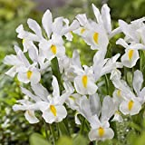 Iris hollandica Mount Everest - 10 flower bulbs