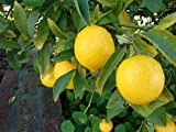 Organic Ponderosa Lemon Tree Certified 5 Seeds #23178 Item UPC#636134973158