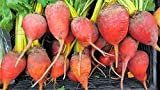 75 Giant Red Beet Mangelwurzel Mangel Mangold Wurzel Mammoth Long Beta Seeds
