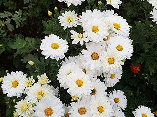 Home Comforts Peel-n-Stick Poster of Flowers Flower Wallpaper Chrysanthemum Fall Flowers Vivid Imagery Poster 24 x 16 Adhesive Sticker Poster Print