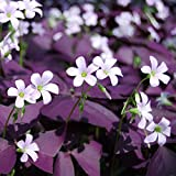Cheap Oxalis Triangularis 'Purple Shamrocks' – 15 Ready to Plant Bulbs