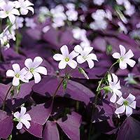 Oxalis Triangularis 'Purple Shamrocks' - 15 Fresh, Ready to Plant, U.S. Grown Bulbs