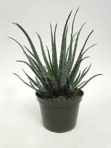 Aloe Hedgehog, 6'' Pot by Garden Goods Direct
