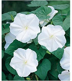 Amazon com : David's Garden Seeds Flower Morning Glory Heavenly Blue