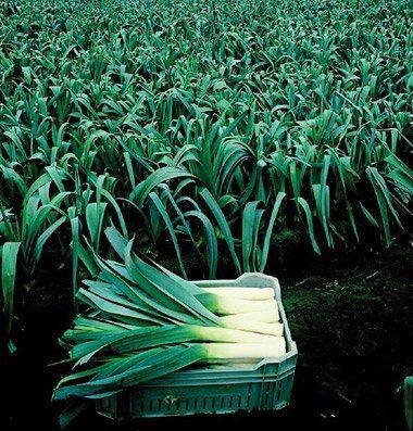 David's Garden Seeds Leek Pandora D2757A (White) 100 Organic Seeds