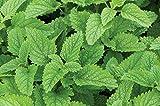 David's Garden Seeds Herb Lemon Balm Common SL7799 (Green) 200 Non-GMO, Organic Seeds