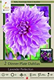 Lavender Perfection Dinnerplate Dahlia - 2 Bulb Clumps