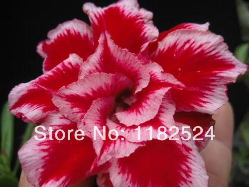 A Pack 50 Pcs Red Datura Seed Balcony Plant Flowers Potted Bonsai Seeds Garden Herbs Mandala Flower Seeds SVI