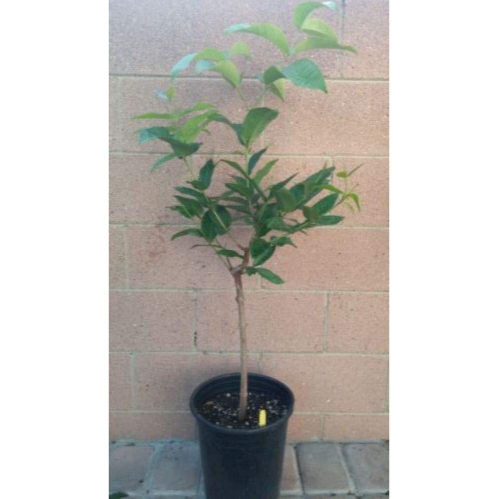 Thai Wax Jambu/Wax Apple Fruit Tree 3-4 Feet Height in 3 Gallon Pot #BS1 by iniloplant (Image #2)
