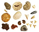 20 Piece Fossil Collection: Dinosaur Tooth (Spinosaurus), Fish Fossil, Trilobite, Shark Tooth, Mososaurus Tooth, Orthoceras, Ammonite, Coprolite, and More! Fossil Gift Pack Collection