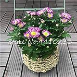 Pinkdose Promotion! 50 Pcs Japan Daisy Bonsai Echinacea Purpurea Flower Plants Home Garden Easy Grow Osteospermum, Chrysanthemum Flower: h