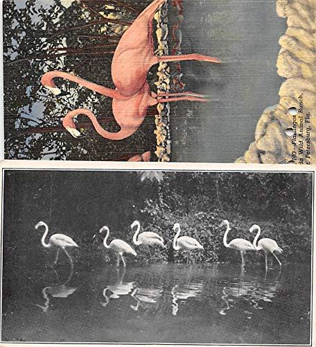 Flamingos Flamingos, Florida Wild Animal Ranch St Petersburg, Florida, USA Unused