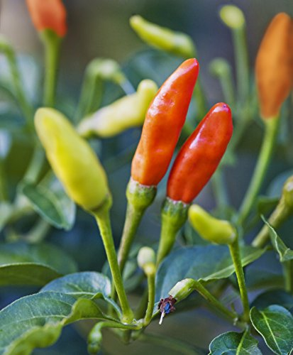 Bonnie Plants Tabasco Pepper - 4 Pack Live Plants | 1.5 - 2 Inch Fruits | 24 - 36 Inch Tall Plants | Great For Pickling & Preserving by Bonnie Plants (Image #5)