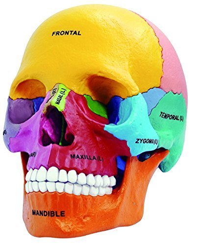 4D Master 26087 4D Anatomy Didactic Exploded Skull Model -