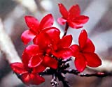 Hawaiian Red Plumeria Plant Cutting ~ Grow Hawaii by Kanoa Hawaii