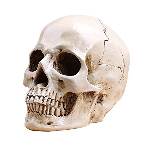 Resin Cranium Prop (Human Skull Model Relastic Replica Life Sized (7.5in Height) Anatomaic Model,Human Skull Home Statue by Halloween'S)