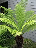 Tasmanian Tree Fern aka Dicksonia Antarctica Live Plant Fit 5 Gallon Pot