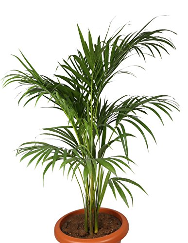 Choloroplants Areca Palm Plant