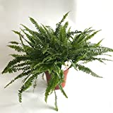 AIRY Schwertfarn Zimmerpflanze - Nephrolepis exaltata - Natürlicher Luftfilter für spürbar gesünderes Raumklima - Passend zum innovativen AIRY Pflanzentopf (17cm breit)