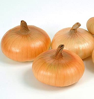 Cipollini Mini Gold Coin Onion 250 Seeds -Current Rage