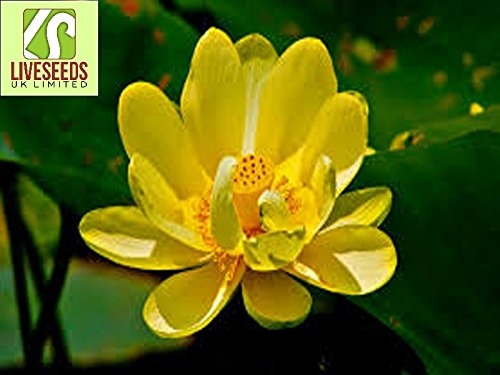 Liveseeds - Bowl lotus/water lily flower /bonsai Lotus /ponds /5 Fresh seeds/Trollius Asiaticus/Yellow Colour